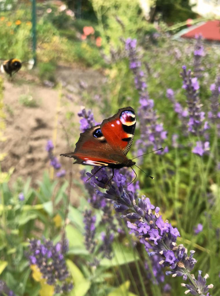 Schmetterling und Hummel im Garten in Neustrelitz